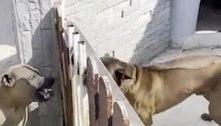Cães em briga feroz viram amigos de novo após dono abrir portão