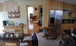 Não demora para o animal chegar à sala, provavelmente em busca de comida ou algum lugar confortável para descansar