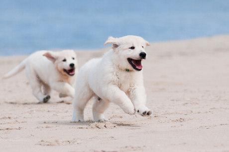 cães brancos correndo