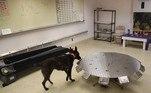 A teoria por trás do treinamento dos cães é simples e existe há bastante tempo: doenças e infecções frequentemente mudam nosso cheiro e cachorros, que possuem 50 vezes mais sensores de cheiros que humanos, são capazes de detectar essas mudanças. Hipócrates, considerado o pai da medicina moderna, registrou os 'fortes odores' da urina de pacientes de certas doença, em 400 a.C