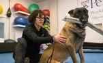 Segundo o Washington Post, o estudo emprega nove cães. Na fase atual, os cães se mostraram capazes de detectar com sucesso a urina de pacientes positivos para covid-19