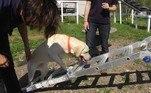 Os pesquisadores projetam, em caso de sucesso no método, que cães serão capazes de examinar até 250 pessoas por hora, com uma taxa de acerto muito maior que os atuais exames rápidos