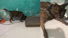 SP: Cães da PM farejam drogas sob piso falso em barraco na zona norte