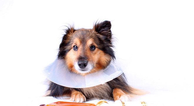 Cães no pós-cirúrgico
