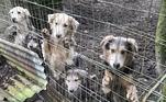 Três cães atrás das grades do celeiro