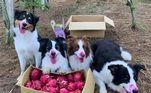 Kelly, o border collie, e Keira, o pastor australiano, foram passear em uma fazenda deTaiwan e lá conheceram outros cachorros. Depois de correr e brincar muito, eles decidiram atacar as pitayas madurinhas que o tutor havia colhido. Bagunça em equipe! Relembre:Cães vão colher frutas com o tutor e não resistem à tentação