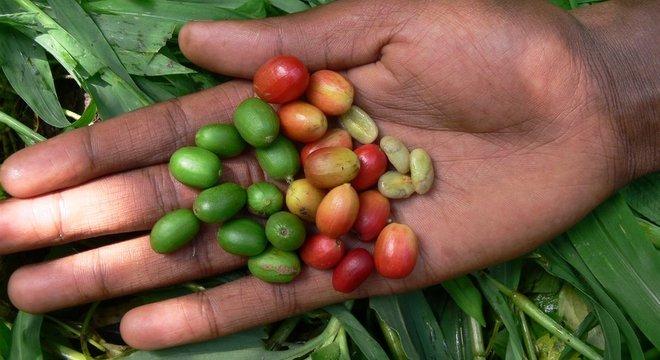 Café arábica está entre as variedades que podem desaparecer com a mudança climática