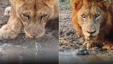 O lugar escuro do reino: cágado não deixa leões matarem a sede em paz