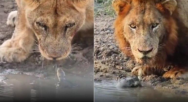 Um cágado do Parque Nacional Kruger, na África do Sul, tentou impedir leões de beberem água