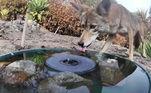 De acordo com o site Bored Panda, além de fornecer água potável para animais selvagens, Jennifer também fez parceria com a ONG Wildlife Care of Southern Californiapara aumentar a conscientização e ajudar os coiotes locais, que poderiam estar sofrendo de sarna devido a envenenamento secundário por comer ratos que foram capturados em armadilhas com veneno