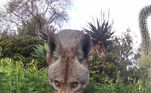 Até mesmo os mais selvagens coiotes precisam se refrescarVeja também:Pets fotografados em poses esquisitas revelam seu pior ângulo