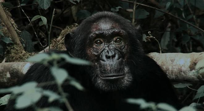 """Documentário """"Primatas em Guerra"""" vai ao ar no Câmera Record deste domingo (16)"""