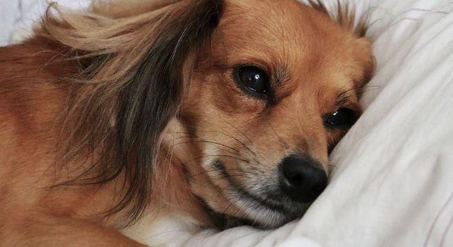 Cães a partir de 7 anos são os mais propensos a ter complicações