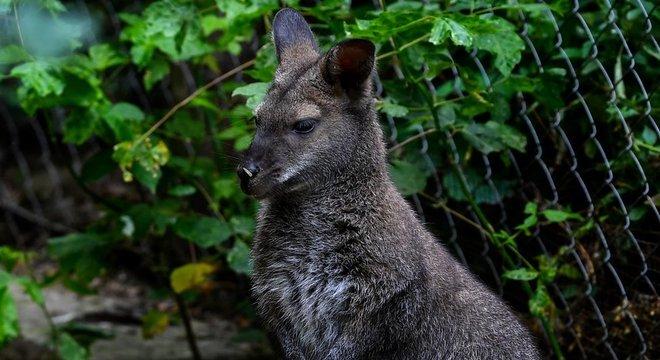 Polícia austríaca ainda não conseguiu confirmar a espécie do canguru avistado no norte do país