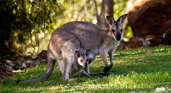Licenças para caçar cangurus são restritas em situações normais