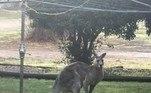 O canguru era visto frequentemente em vários locais de Bright, uma cidade no sul da Austrália. Apesar do porte físico assustador, o animal era cordial e já foi flagrado interrompendo pulos para se aproximar de frequentadores de um parque local