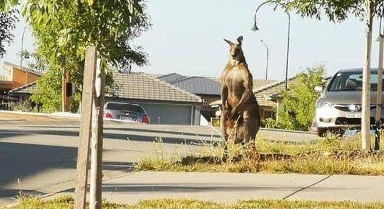 """Este animal """"maromba"""" encarou pessoas em uma rua da Austrália"""