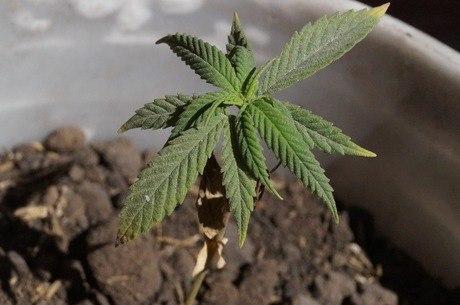 Uso medicinal da maconha é autorizado pela Anvisa