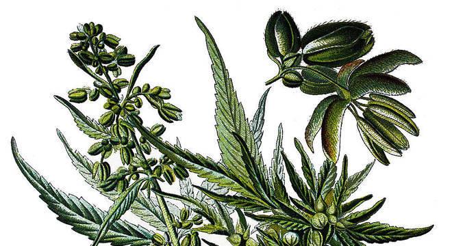 Uma planta com múltiplos usos e uma longa história
