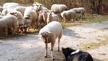 Dia de fúria! Carneiro enfrenta cão pastor e se recusa a receber ordens