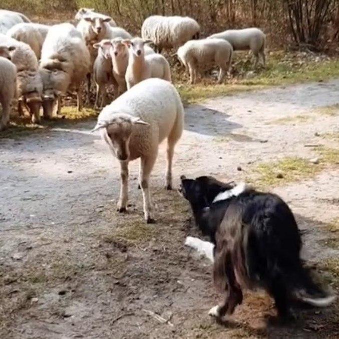 Nada do que o cão pastor tentou deu certo