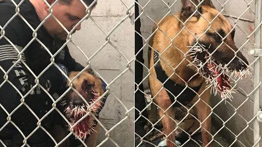 Cão policial é ferido por porco-espinho durante operação nos EUA (Twitter/Coos_County_SO)