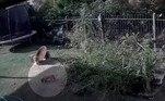 Uma câmera de vigilância flagrou o ataque da serpente, desferido a partir de um arbusto de pimenta no local