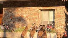 Capivaras invadem condomínio, comem grama e amedrontam pets