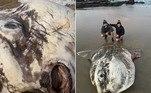 Turistas encontraram uma carcaça do maior peixe ósseo do mundo, em uma praia próxima à foz do rio Kennett, na costa sudoeste da Austrália