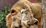 Na quinta-feira passada (30), o zoológico de Los Angeles teve de tomar a difícil decisão de sacrificar o casal de leões idosos Hubert e Kalisa, de 21 anos. A decisão foi anunciada