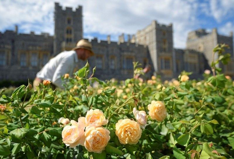 Jardineiros cuidam de rosas no castelo durante preparativos para abertura