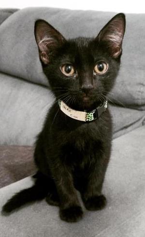 Gatos pretos: os últimos da fila de adoção, eles sofrem mais com o preconceito