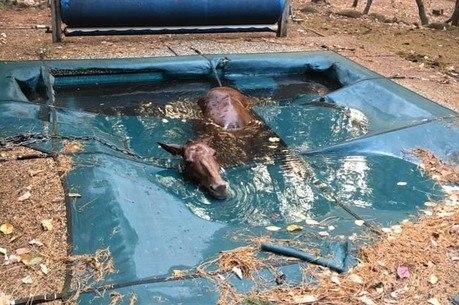 Não se sabe como o cavalo chegou na piscina