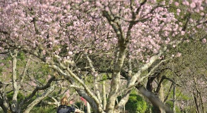Cerejeiras japonesas impressionam no Parque do Carmo, zona leste