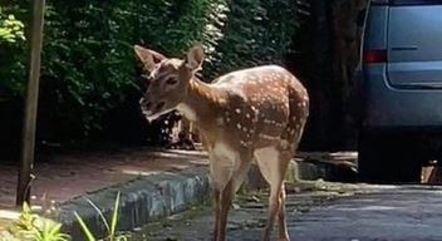 Cervo Bambina foi resgatada em São Paulo