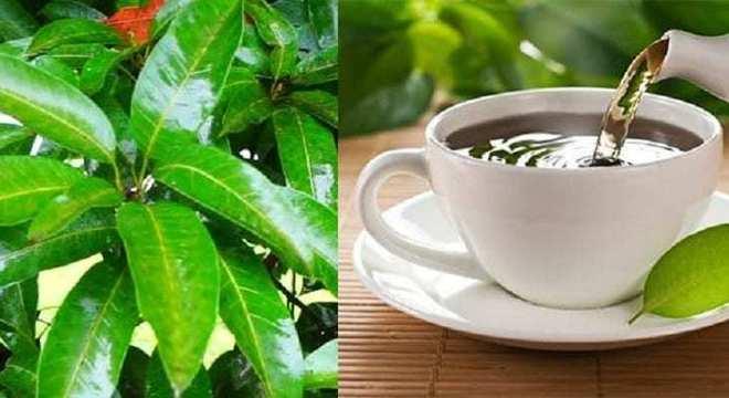 chá folha de mangueira