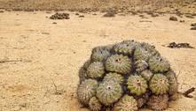 Contrabando milionário de cactos ameaça espécies raras do Atacama