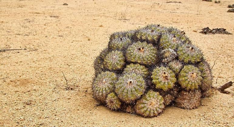 Cactos do deserto do Atacama estão ameaçados de extinção pelo tráfico internacional