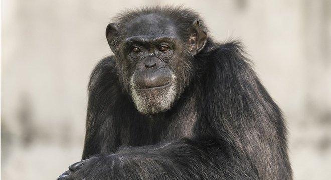 Como os humanos, os chimpanzés formam alianças dentro de uma comunidade