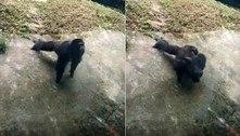 O bicho é monstro! Chimpanzé faz série de flexões em zoológico