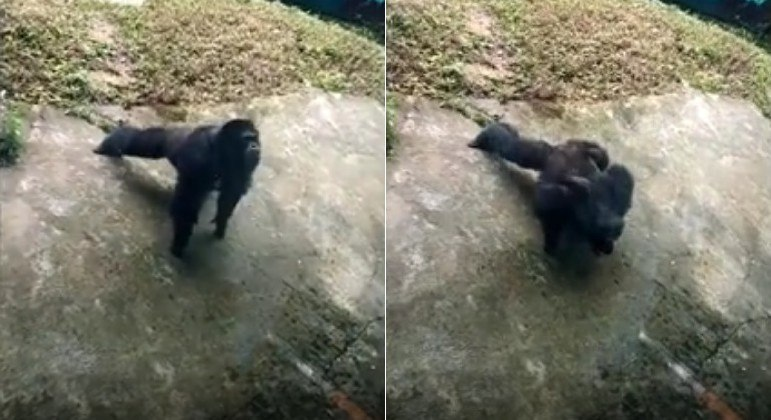 Chimpanzé engatou série de flexões em zoológico na China