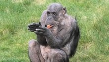 Chimpanzé William comemora retorno de visitantes a zoológico