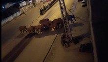 China usa drones e bananas para levar elefantes de volta para casa