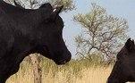 No entanto, o historiador e criador de gadoAngus Emmott conta que o gado da região pode se alimentar da carcaça de animais mortos para complementar a dieta