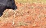 O trabalhador especula que o réptil tenha se agarrado à língua da vaca, depois de ter sido perturbado por elaVeja também:Sem-teto é abocanhado e levado ao fundo de laguna por crocodilo