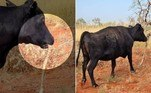A vaca acima foi flagrada com uma píton na boca, enquanto pastava à beira de uma estrada remotado Território do Norte, na Austrália