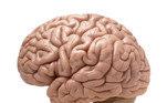 Por exemplo, a neurologistasDaphna Joel e companheiros de pesquisa daRockefeller University, examinaram (em 2015) minuciosamente 1.400 cérebros em tomografias. Classificando-os de acordo com as tabelas de tamanhos das 10 áreas cerebrais, o grupo concluiu que 'de3% a 6%' dos examinados tinham cérebros consistentemente de homens ou mulheres. O restante variava enormemente