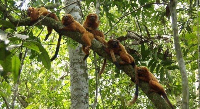 Importado por europeus, usado como animal de estimação e vítima de contrabando: trajetória do mico-leão-dourado tem sido de sufocos