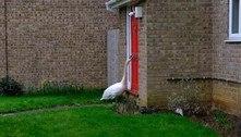 Barulho insuportável: cisne atrevido bate em porta de casa por horas