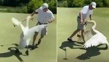 Cisne em dia de fúria toca o terror para cima de jogador de golfe